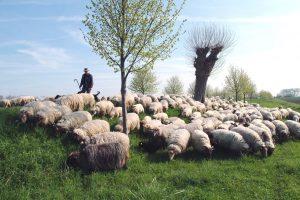 schapen, natuurfotografie, fotograaf, jan klomp